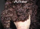 Jill's Poodle after using PetsBestRx Ringworm Treatment