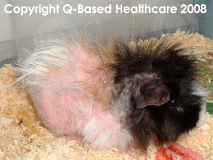 Blaze's Mange infection before PetsBestRx treatment saved him