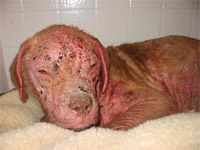 One week into treatment using PetsBestRx products for catastrophic demo mange