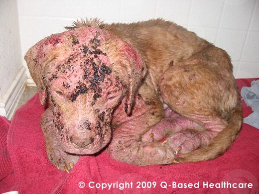 Puppy Suffering with Demodectic Mange