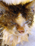 Radio the cat suffering with sarcoptic mange infection before treatment with PetsBestRx products
