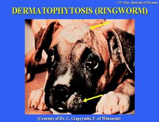 Ringworm Picture on Dog