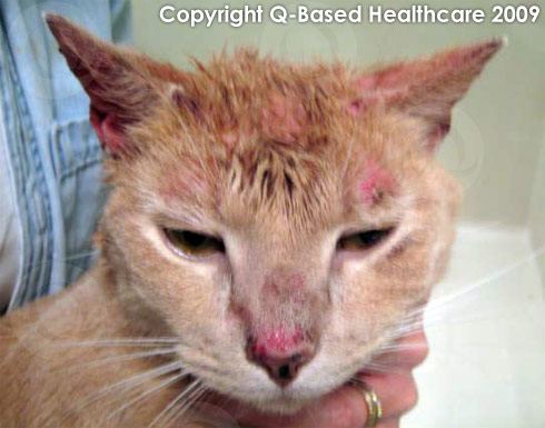 Natural Remedies For Bacterial Infections In Cats
