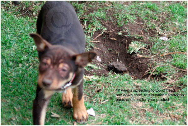 Ruth's Puppy at 10 weeks of age with mange spreading to the top of her head and down the nose