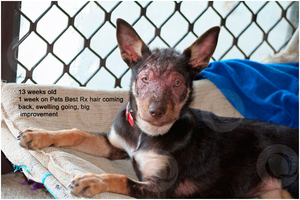 Ruth's Puppy at 13 weeks of age - 1 week after using Pets'BestRx products for mange