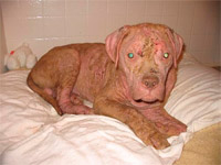 Justice during his second week of Mange treatment using PetsBestRx creams