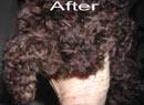 Poodle After
