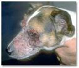 dog with ringworm