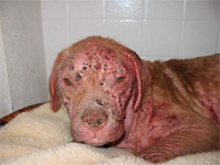 Justice during his first week of Mange treatment using PetsBestRx creams