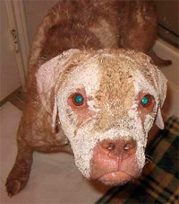 Justice during his third week of Mange treatment using PetsBestRx creams